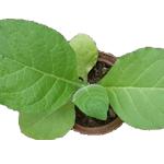 Tabaksorten - Burley Tabak - Wichtige Infos