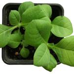 Virginia Tabak - Wissenswertes über die Tabaksorte