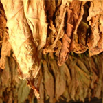 Tabak Geschichte - Wie alles begann?